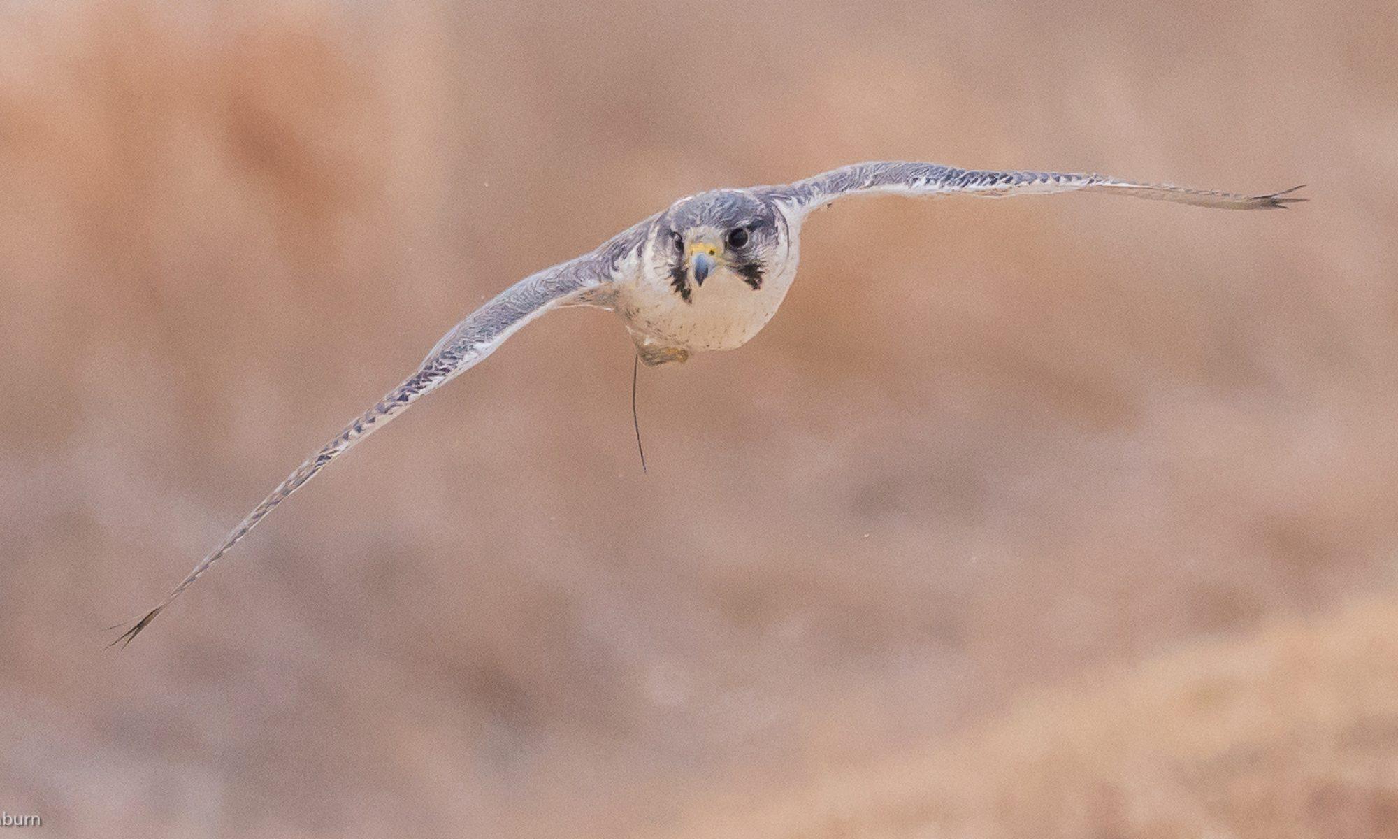 Iowa Falconer